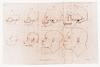 Ape and human skulls. Historical artwork of skulls and faces of a series of apes and humans. This depicts the course of evolution of the human skull f...