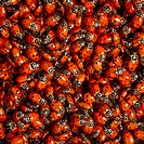 Ladybird beetles. Cluster of ladybird beetles or ladybugs (family Coccinellidae). This carnivorous insect feeds on crop-damaging insects such as aphid...