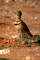 Doublebanded Courser, Kgalagadi Transfrontier Park, Namibia