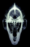 Gorilla skull. X-ray of a front view of the skull of a male gorilla (Gorilla gorilla). The gorilla is the largest living primate. Its skull differs fr...