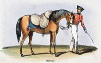 Vignette from a lithographic plate showing a military man with his horse which is wearing a sheepskin. Taken from ´The Sheep´ in ´Graphic Illustration...