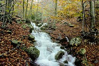 Torrent and Beeches (Fagus sylvatica) in autumn. Montseny Natural Park, Barcelona province. Spain