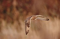 Short Eared owl (Asio flammeus) in flight. Norfolk. England. UK