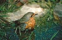 Robin (Erithacus rubecula) bathing in puddle