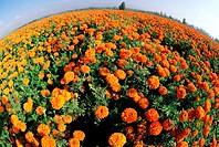 fish-eye view of marigolds