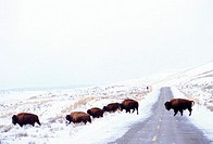 Buffalo Crossing Winter Road