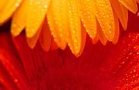 petal dewdrops