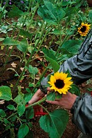 Cutting Sunflowers