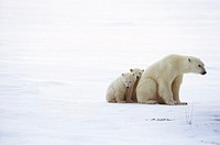 North American Polar Bear Family