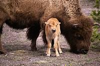Buffalo Family, Yellowstone National Park