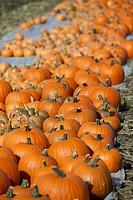 Pumpkins. Skåne. Sweden