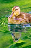 Mallard duckling (Anas platyrhynchos)