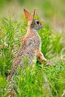 Eastern Cottontail (Sylvilagus floridanus)