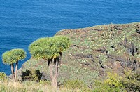 Dragon Trees. La Palma. Canary Islands. Spain
