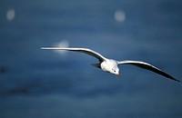 Silbermöwe im Flug