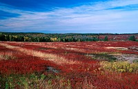 Autumn, blueberry, bushes, Canada, North America, America, moor, nature, New Brunswick, scenery, landscape, shrubs,