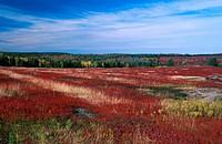 Autumn, blueberry, bushes, Canada, North America, America, moor, nature, New Brunswick, scenery, landscape, shrubs,