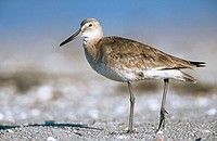 Willet (Catoptrophorus semipalmatus). Bird in winter plumage. Sanibel Island. Florida. USA