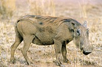 Warthog (Phacochoerus aethiopicus). Serengeti National Park, Tanzania