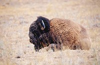 American bison bull (Bison bison) also called american buffalo. National Bison Range. Montana. USA