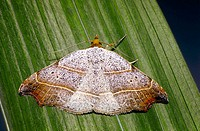 Moth (Drepana sp.)
