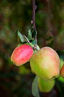 Close-up of apples on an apple tree