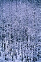 Snowy trees and limbs