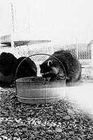 A raccoon eats out of a steel bucket that is on rocky ground