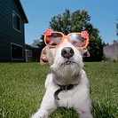Jack Russell Terrier wearing children's plastic toy glasses