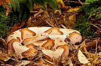 Southern Copperhead (Agkistrodon contortrix contortrix), captive