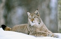 European lynx (Felis Lynx). Adult male lying on snow. Norway