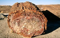 Section of petrified tree. Petrified Forest NP. Arizona. USA
