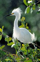 Snowy Egret (Egretta thula). Everglades National Park. Florida. USA (february)