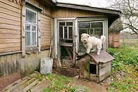 A dog in a poor woman's house outside St. Petersburg. Russia