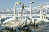 Whooper Swans (Cygnus cygnus). Hokkaido, Japan