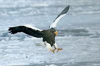 Steller´s Sea-Eagle (Haliaeetus pelagicus)
