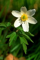 Anemone nemorosa. Wood anemone close up single flower.