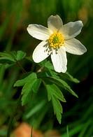 Anemone nemorosa. Wood anemone close up single flower.