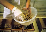 Chinese herbal medicine. Herbalist´s gloved hand selecting dried roots in a Chinese herbal pharmacy. Chinese medicine is based on the theory of a univ...