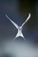 Arctic tern in the Alaska Range of Alaska. Arctic terns have the longest migration of all birds, traveling up to 40,000 KM/year (25,000 miles)