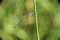 Spreadwing damselfly (Family Lestidae) sitting on a stalk. The damselfly is a primitive flying insect, similar to the dragonfly but smaller, measuring...