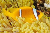 Twoband anemonefish (Amphiprion bicinctus) in a magnificent sea anemone (Heteractis magnifica) on a coral reef. Anemonefish, also called clownfish, li...