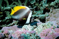 Singular bannerfish (Heniochus singularis), a type of butterflyfish. Photographed in the Andaman Sea, Thailand.