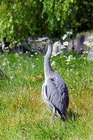 Grey heron (Ardea cinerea) on grass. Photographed in Regent´s Park, London, UK.