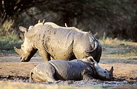 White Rhinoceros (Ceratotherium simum) at mud wallow. Kruger National Park, South Africa