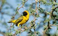 Masked Weaver, Ploceus velatus, Kgalagadi Transfrontier Park, South Africa