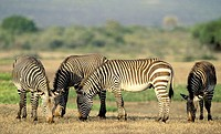 Cape Mountain Zebra (Equus zebra zebra), highly endangered species. De Hoop Nature Reserve, South Africa