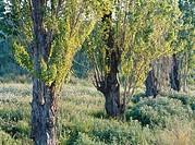 Black poplar (Populus Nigra ´Italica´). El Prat del Llobregat. Spain.