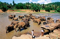 Elephant orphanage in Pinnewala. Sri Lanka