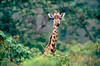 Giraffe (Giraffa camelopardalis). Serengeti National Park. Tanzania